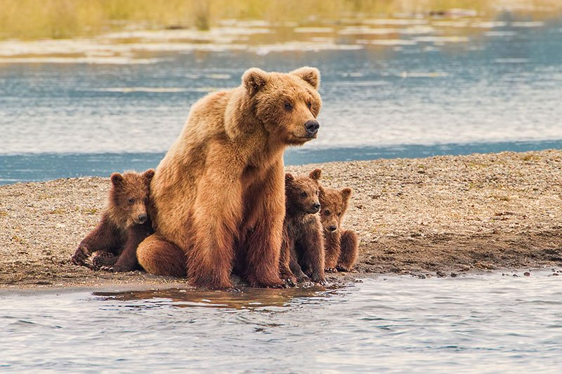 Bear and cubs in Grand Teton National Park